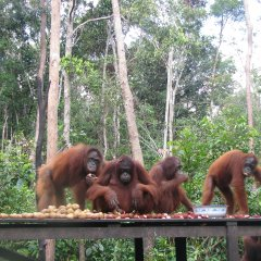 Orangutan feeding platform at one of the release camps in Lamandau Reserve