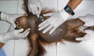 Infant orangutan orphan gets check-up by veterinarians at OCCQ