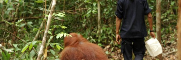 Orangutan female following OFI ranger going to feeding platform at Camp Leakey